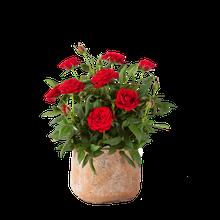 Topfrose in Rot im Handmade Pot in Terrakotta