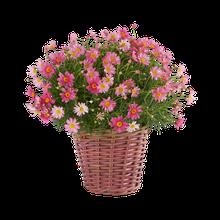 Margerite in Pink im Weidekorb